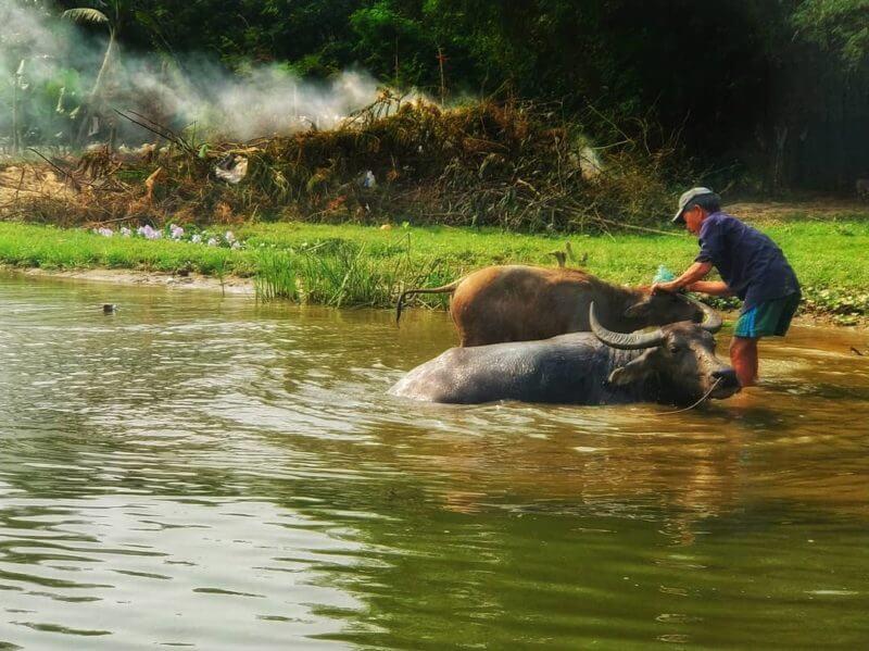 Ein Vietnamese wäscht seine Büffel